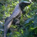 Iguana Argentina