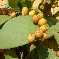 prickly-pear-241569_1920